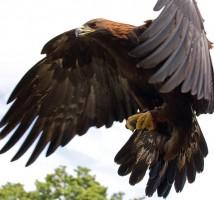 عقاب eagle