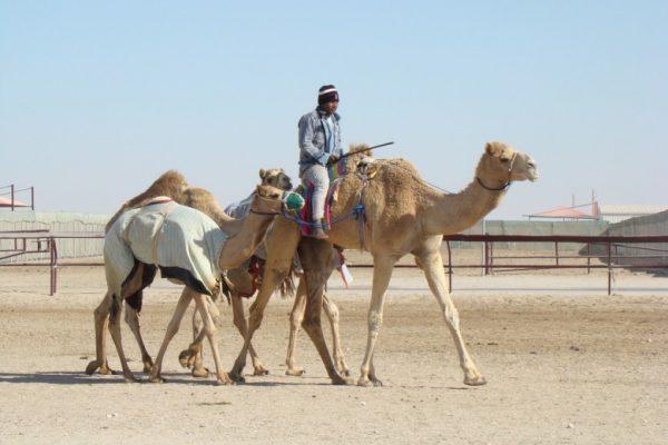 دوحه قطر - camel-racing-doha-780x585-600x400