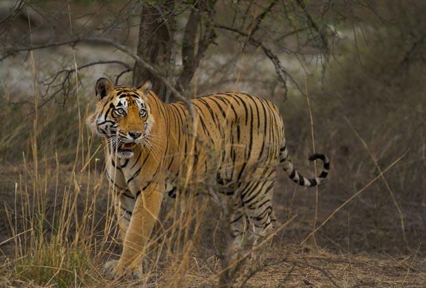 پارک ملی رانتامبور-ranthambhore_national_park