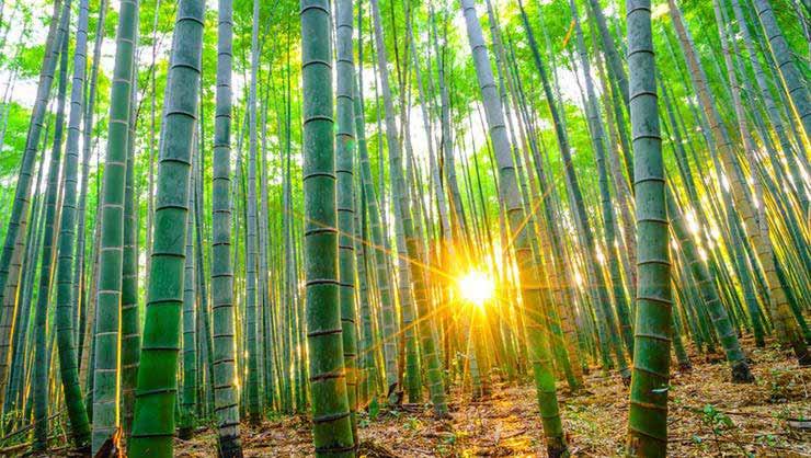 گیاهان سریع رشد,بامبو
