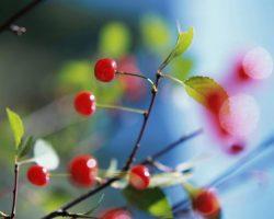 sour-cherry