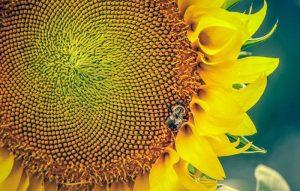 high-protein-garden-sunflowerseeds