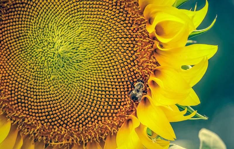 غذاهای گیاهی سرشار از پروتئین high-protein-garden-sunflowerseeds