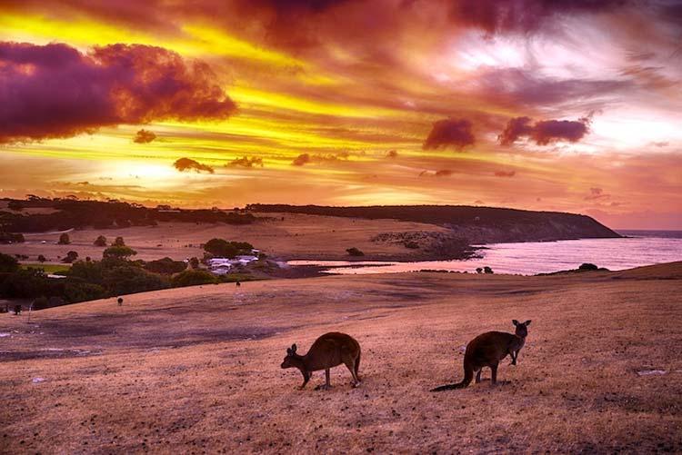 جزیره کانگورو استرالیا