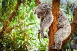 دیدن کوالا در مناطق دیدنی استرالیا