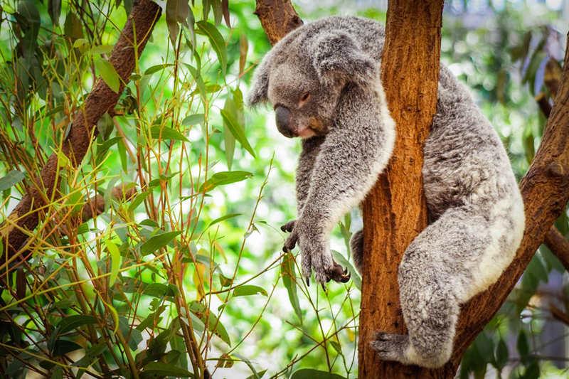 Koalaدیدن کوالا