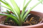 گیاه عنکبوتی Spider-Plant