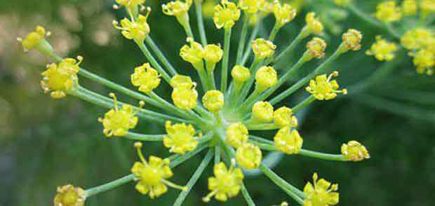 گیاهان دارویی طب سنتی
