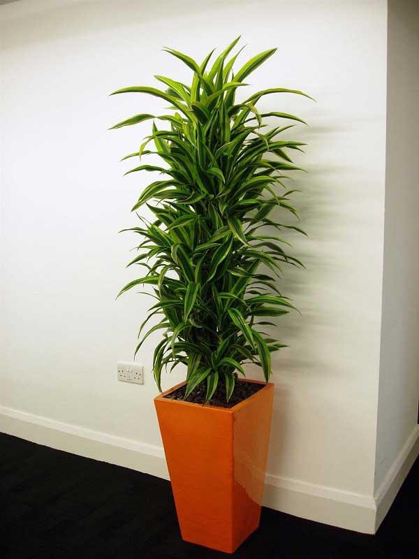 plants-to-grow-indoors درختچه اژدها
