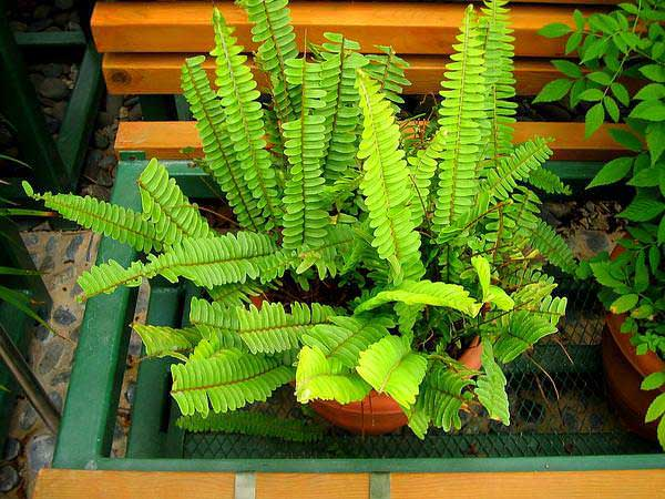 plants-to-grow-indoors گیاه Sword fern