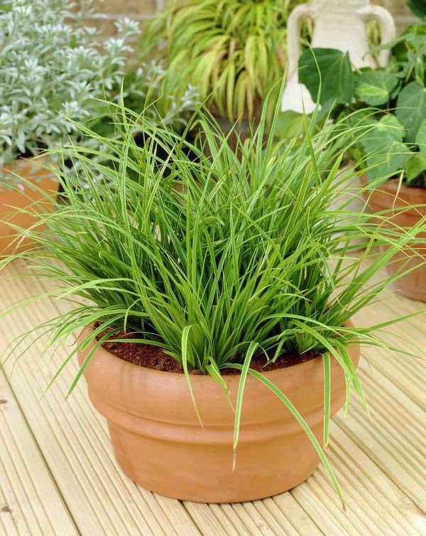 plants-to-grow-indoors گیاهان عنکبوتی