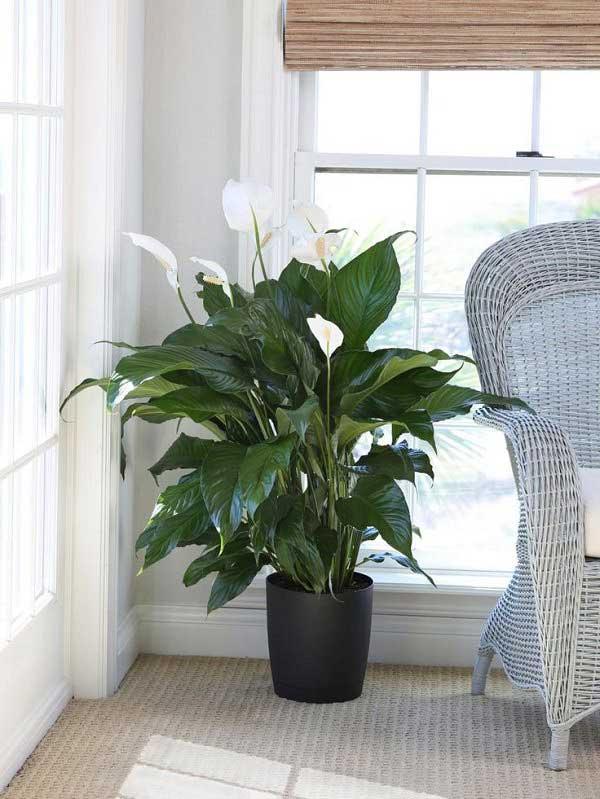 plants-to-grow-indoors گل چمچمهای یا برگ قاشقی
