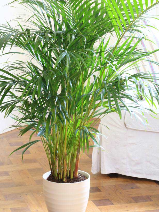 plants-to-grow-indoors گیاه Parlor Palm