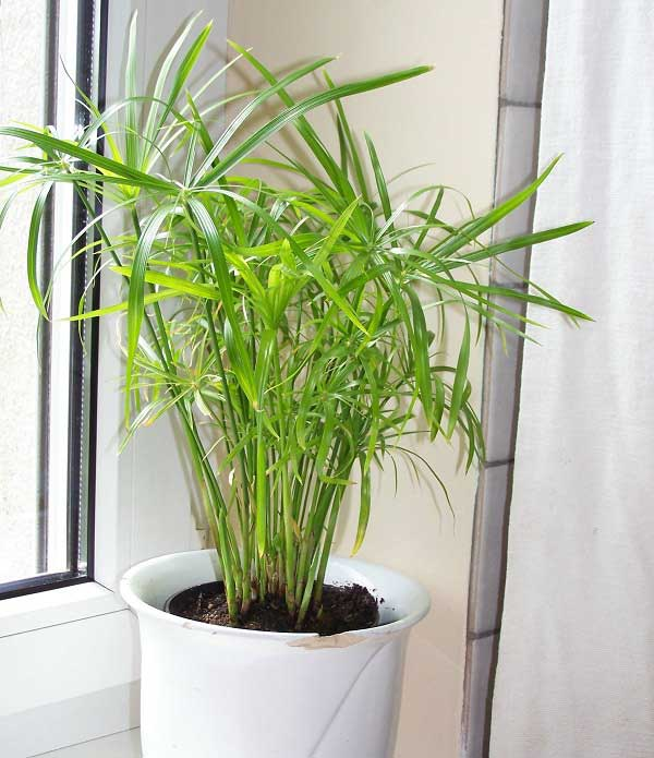 plants-to-grow-indoors چتر پاپیروس