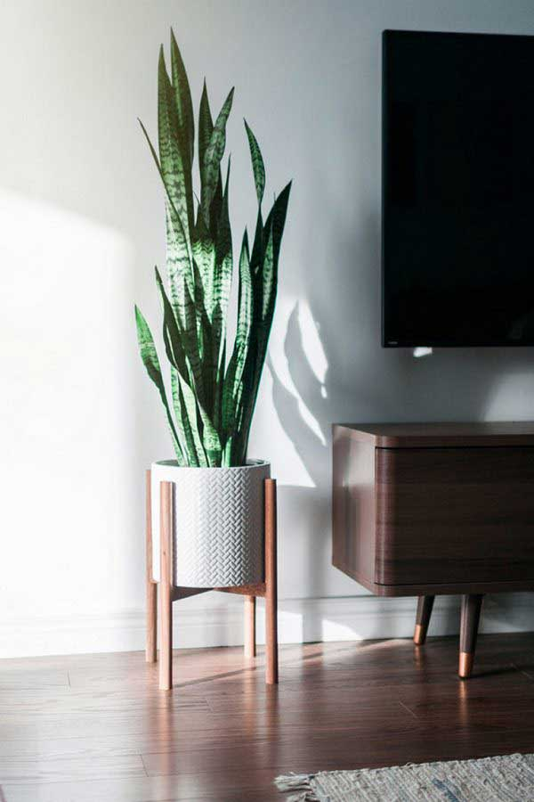 plants-to-grow-indoors زبان مادر شوهر یا گیاه ماری