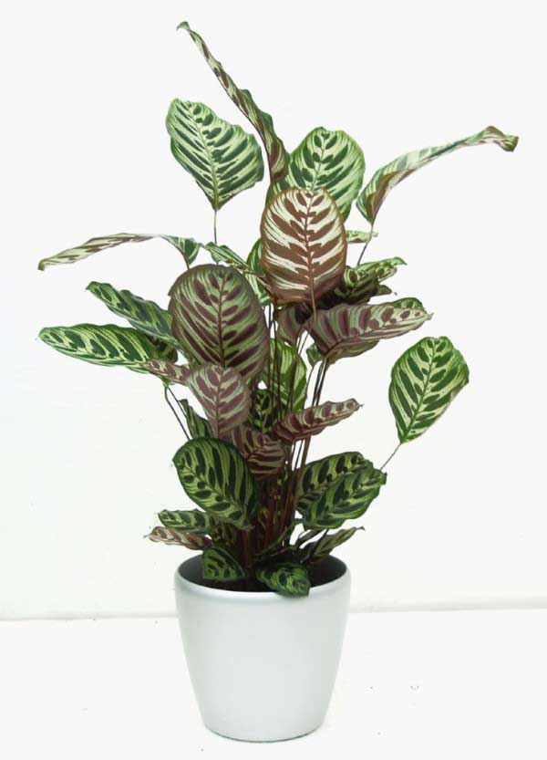 plants-to-grow-indoors گیاه Calathea