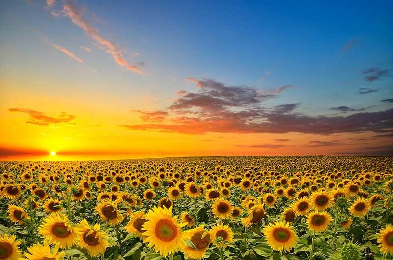 مزرعه آفتابگردانsunflower-field