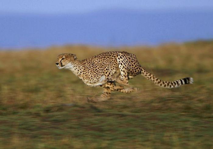 سریع ترین موجودان جهان,سریع ترین حیوان دنیا