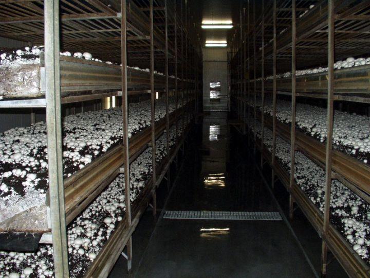 پرورش قارچ، زحمت کم درآمد خوب/ برای کارآفرینی با 1.5 میلیون سرمایه شروع کنید