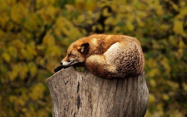 تعبیر دیدن روباه در خواب چیست