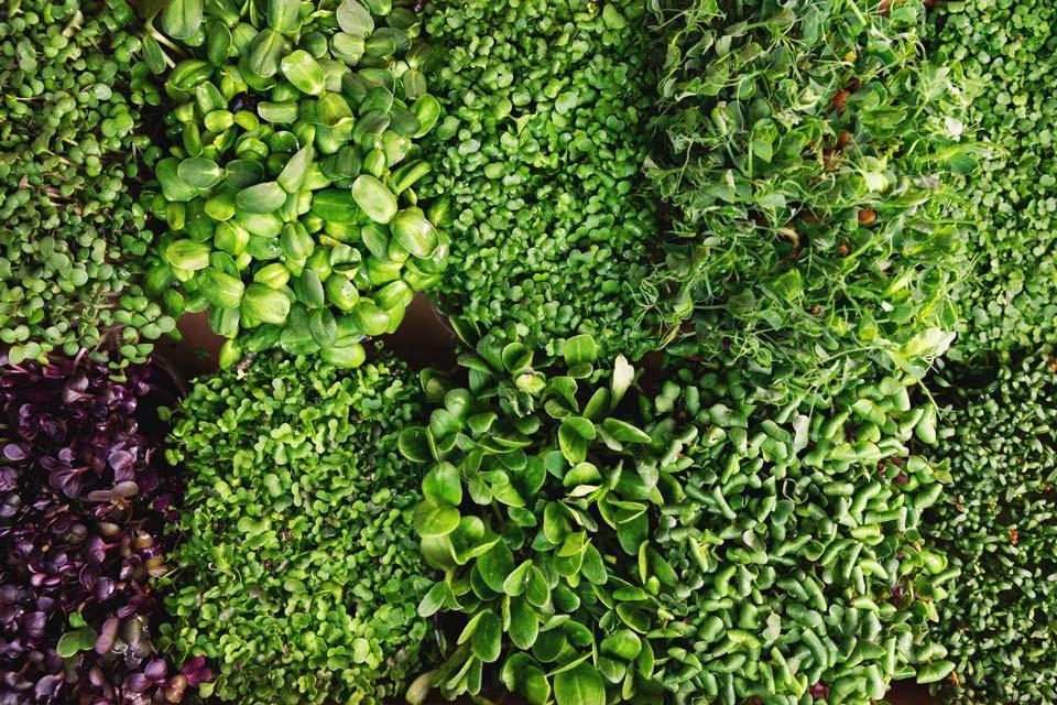 سبزی با رشد سریع,میکروگرین